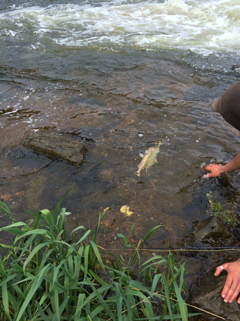 Remise à l'eau d'une belle Alose prit à la mouche en nymphe par un pêcheur