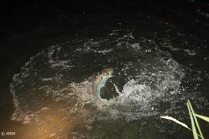 Accouplement des mâles et des femelles offre un spectacle sonore chaque nuit vers 2-3h du matin lorsque l'eau atteint la température adéquate.